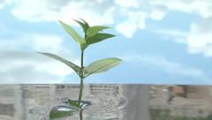 Peppermint. Mint branches grow out of the water and hide back into the water. Stock Footage