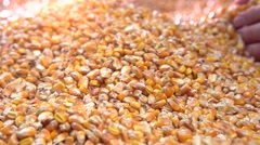 Corn. Farmer looks at a rich harvest of corn. - stock footage