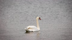 Swan shaking tail feather Stock Footage