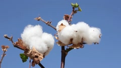 Ripe cotton bolls, ready for harvest, on blue sky background Stock Footage