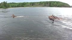 Moose swim in the lake. Stock Footage