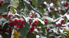 Hawthorn berries in the snow 4 Stock Footage