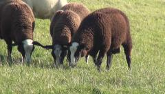 Three brown sheeps eating in Friesland (Holland). - stock footage