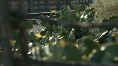 Cacti with rack focus to wooden fence - stock footage