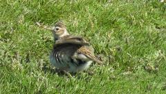 A skylark walks on a meadow and shakes its body Stock Footage