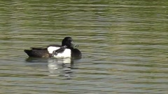 Male tufted duck scratches its head and preens its feathers Stock Footage
