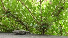 Common lizard walking on stone wall – low angle view Stock Footage
