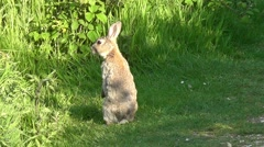 Common rabbit standing upright Stock Footage