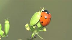 Insect Ladybug beetle bug sitt in green leaf, macro, grass, 4k - stock footage
