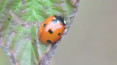 Insect Ladybug beetle bug sitt in green leaf, macro, grass, 4k Stock Footage