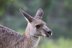 Eastern Grey Kangaroo (Macropus giganteus) Kuvituskuvat