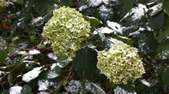 Green flowers with snow 3 Stock Footage