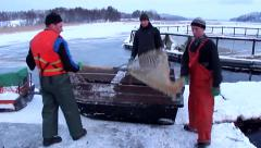Harvesting rainbow trout. Old fashion aquaculture. Stock Footage