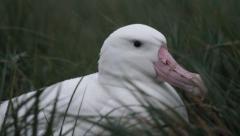 Wandering albatross in the grass - stock footage