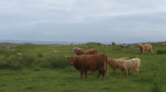 Highland cows on Isle of Coll Scotland Stock Footage