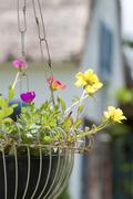 Hanging flower pots (Common Purslane) for home decor Stock Photos