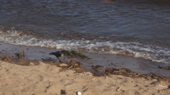 Grey crow walking on a beach Stock Footage