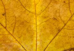 Fallen Golden Yellow Maple Leaf Texture Pattern, Autumn Fall Gru Stock Photos