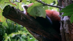 Red panda (Ailurus fulgens) in 4k Stock Footage