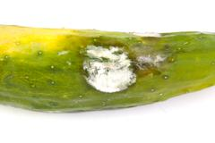 Molded vegetable marrow or zucchini, isolated on white background - stock photo