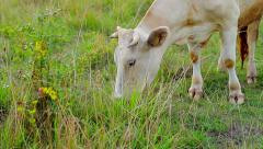 Calf chewing grass. - stock footage