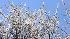 Blossoming apricot tree. Stock Footage