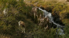 Goats (Capra aegagrus hircus) grazing near a mountain stream Stock Footage