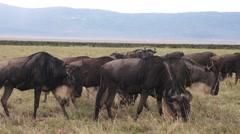 Herd of wildebeests. Safari in Tanzania Stock Footage