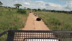 Ostriches are sitting on the road. Jeep safari in Tanzania Stock Footage