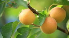 Ripe apricots in the garden. Stock Footage