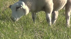 Close Up of eating sheeps. Stock Footage