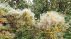 Smoke tree in botanical gardens Stock Footage