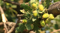 Acorn on the oak. Stock Footage