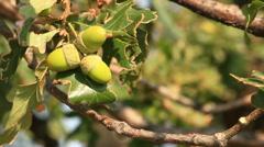 Acorn on the oak. - stock footage