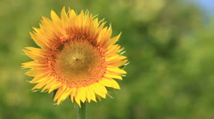 Flowering sunflowers on the field. Stock Footage