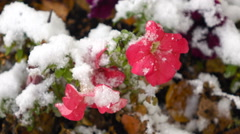 Pink flowers with snow Stock Footage