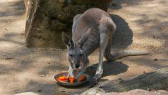 Kangaroo eating, 4k Stock Footage