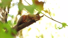 Red Squirrel at the Chestnut Stock Footage