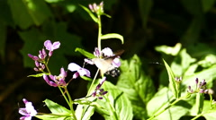 Hummingbird Hawk-Moth (Macroglossum stellatarum) Slow Motion Stock Footage