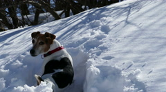Dog on the Trail of a Wild Animal in a Snowy Forest  - stock footage