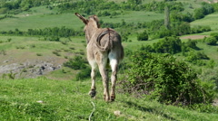 Stock Video Footage of donkey captured on green meadow.