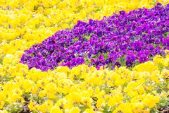 Flowerbed with Pansy flowers - stock photo