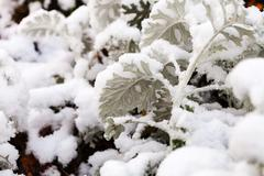 first snow on dusty miller plant in autumn - stock photo