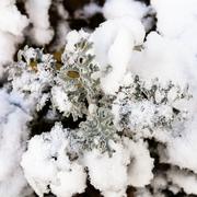 first snow on jacobaea maritima plant in autumn - stock photo