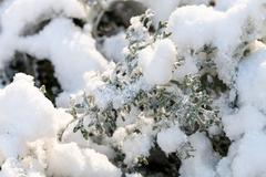 first snow on senecio cineraria plant - stock photo