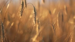 Wheat field close-up on windy day Arkistovideo