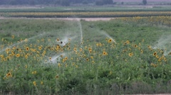 4K Sunflowers Field in Sunset, Agriculture Harvest, Irrigation System, Watering - stock footage