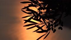 4K Close up Olive Orchard Sunset Sea Waves Beach Sunlight Sunshine View Sunrise Stock Footage