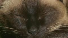 Siamese cat sleeping macro Stock Footage
