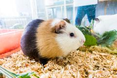 Guinea pig (Cavia porcellus) is a popular household pet. - stock photo
